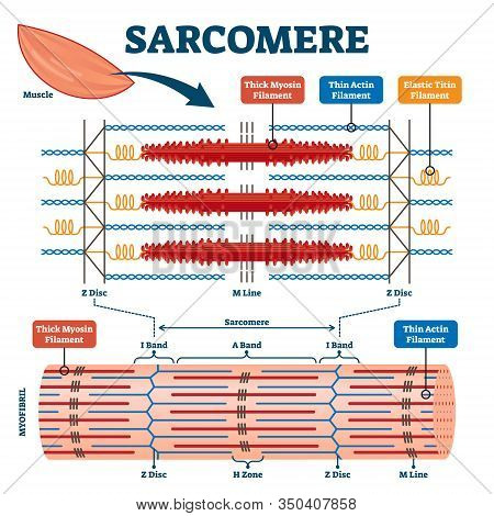 Sarcomere Muscular Biology Scheme Vector Illustration. Myosin Filaments, Discs, Lines And Bands. Myo