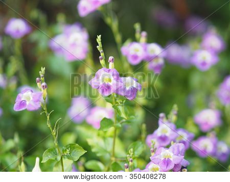 Creeping Foxglove, Acanthaceae, Creeping Foxglove Name Purple Flower Spreading, Herbaceous Groundcov