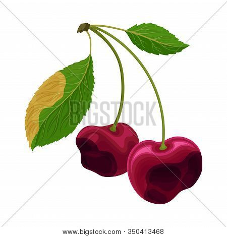 Spoiled And Rotten Cherry With Berries Covered With Stinky Rot Vector Illustration