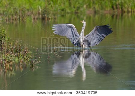 Gray Heron (ardea Cinerea) With Spread Wings Standing In Water At Lakeshore