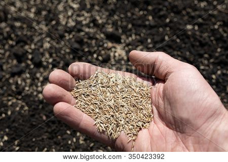 Person With Hand Full Of Grass Seed Sowing On To Field. Spring Agricultural Work