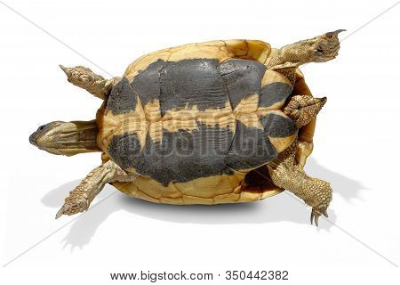Hermann Tortoise On The Side In Close-up Isolated On A White Background