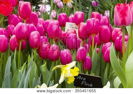 Tulipa Of The Ace Pink  Species In A Greenhouse.