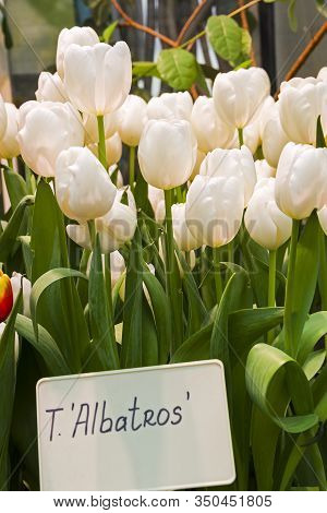 Tulipa Of The Albatros  Species In A Greenhouse.