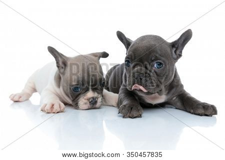 Clumsy French bulldog cubs licking their nose and looking forward while laying down and sitting side by side on white studio background