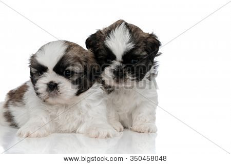 Bothered Shih Tzu puppies looking forward and frowning while sitting and laying on white studio background