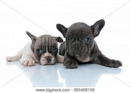 Two cool French bulldog cubs relaxing and resting while laying down side by side on white studio background