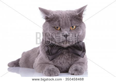 Bothered British Shorthaircat wearing bowtie and frowning while laying down on white studio background