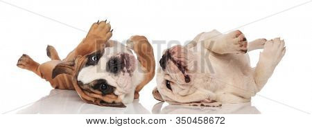 Two English bulldogs puppies rolling on their back and playing on white studio background