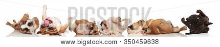 Six clumsy Bulldogs rolling on their back, playing and panting on white studio background