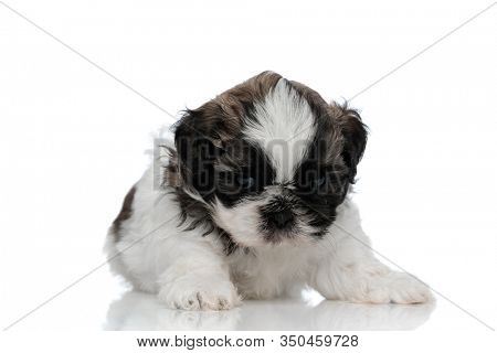 Bothered Shih Tzu cub looking forward and frowning while laying down on white studio background