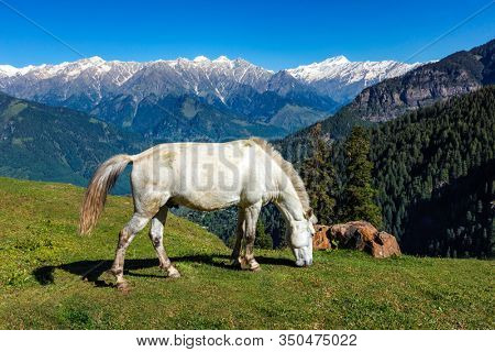 Horses grazing in Himalayas mountains. Himachal Pradesh, India