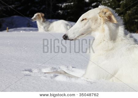 borzoi dogs, sight-hounds, basking in the sun, snowy winter scenery in sweden