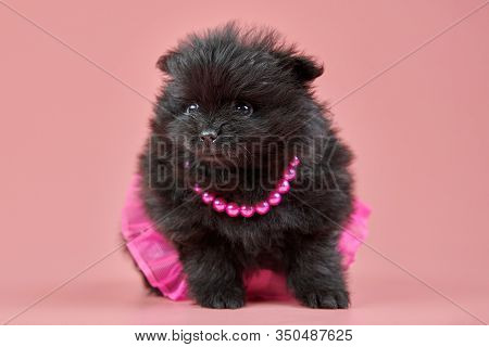 Pomeranian Spitz Puppy. Cute Fluffy Black Spitz Dog In Skirt With Beads On Pink Background. Family-f