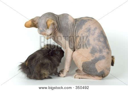 The Canadian Sphynx And Porpoise