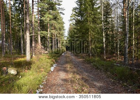 Country Road In A Coniferous Forest In Early Spring Season