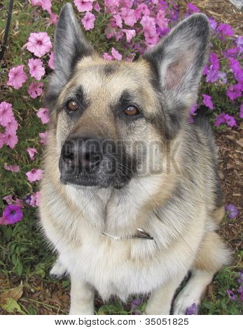 The intense stair of a loving German Shepherd dog poster