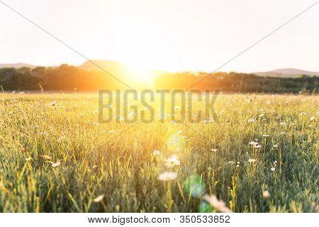 Blurred Nature Scene Camomile Flowers Beautiful Nature Scene Field In Sunlight Camomile Spring Flora