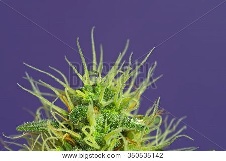 Cannabis Bud With Trichomes.