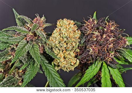 Three Different Cannabis Buds, Two Fresh Purple (red) Varieties And Dry Modern Orange Hybrid, All Su