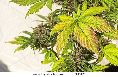 Iconic Cannabis Leave On Plant