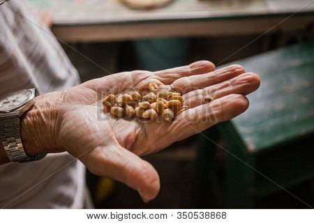 Fresh Coffee Seeds Beans In Hand Of A Farmer