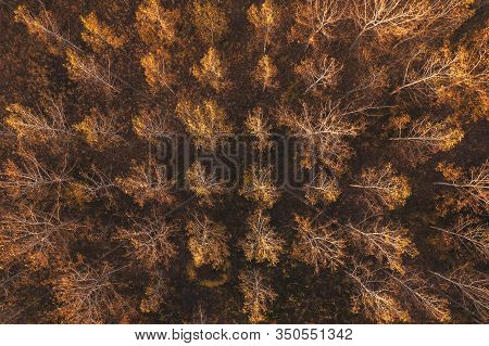 Top View Of Autumnal Poplar Tree Forest From Drone Pov, Aerial View Of Deciduous Wooded Area