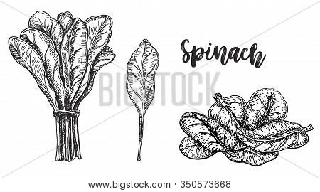 Sketch Of Spinach. Isolated On White Background. Hand Drawn Vector Illustration. Retro Style. Farm G
