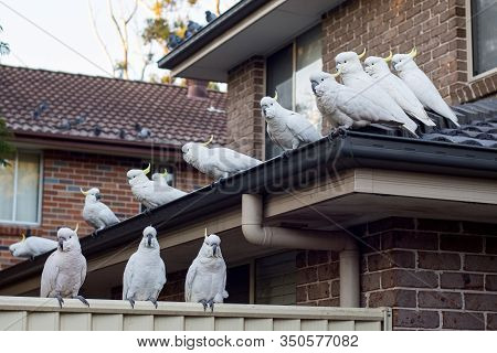 Flock Of Sulphur-crested Cockatoos Sittting On A Roof. Australian Urrban Wildlife