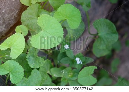 Herbal Thankuni Leaves , Centella Asiatica,gotu Kola