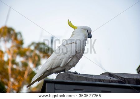 Sulphur-crested Cockatoo Sitting On A Roof Corner