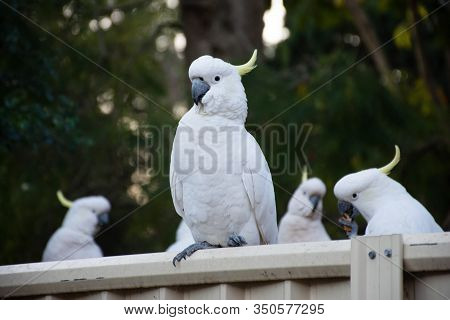 Curious Sulphur-crested Cockatoos Sitting On The Backyard Fence