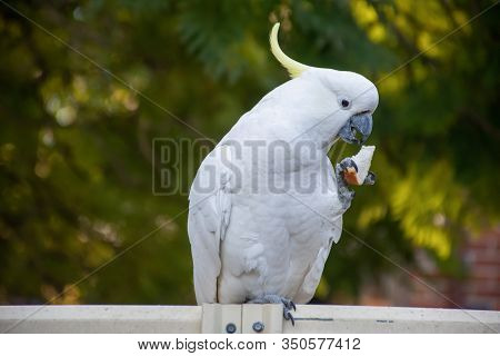 Curious Sulphur-crested Cockatoo Sitting On The Backyard Fence With Piece Of Bread In Its Beak