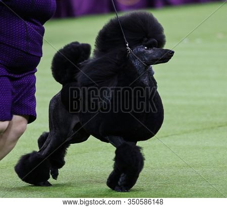 NEW YORK - FEB 11: Siba, the Standard Poodle, wins Best in Show at the 144th annual Westminster Kennel Club Dog Show on February 11, 2020 at Madison Square Garden in New York City.