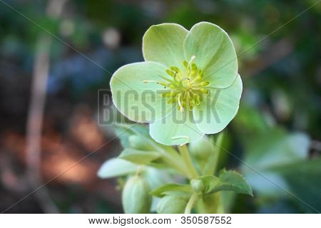 Helleborus Viridis Flower Close Up. Commonly Called Green Hellebore. Winter Flower.