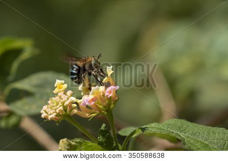 Close-up Of Honey Bees Buzzing On Flower