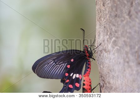 Close Up And Side View Of Black Domestic Male Butterfly Insect Meeting To Other Female Butterfly On