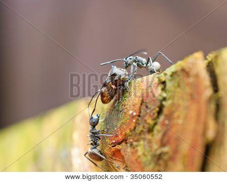 dos hormigas negras, burlándose de una tolva de hoja