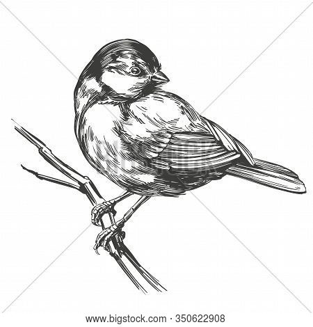 Bird Titmouse On A Branch, Hand Drawn Vector Illustration Realistic Sketch Isolated On White Backgro