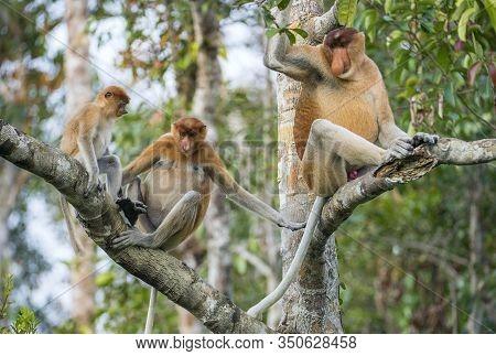 Family Of Proboscis Monkeys In A Tree.proboscis Monkey (nasalis Larvatus) Sitting On A Tree In The W
