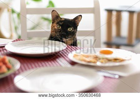 Tortoiseshell Cat Waiting For Food. Tortoiseshell Cat Portrait On Food Table. Close Up Of Tortoisesh