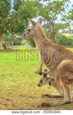 Side View Of Kangaroo With A Joey In A Pocket, Macropus Rufus, In Australia. Australian Marsupial St
