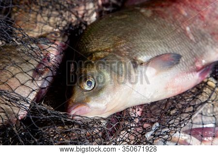 Close Up View Of Big Freshwater Common Bream Fish On Keepnet..