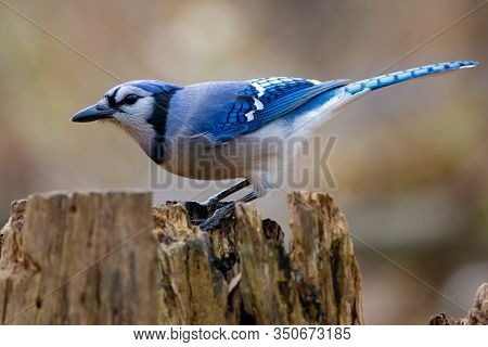 Colourful And Majestic Blue And White Bluejay Perched On A Tree Stump