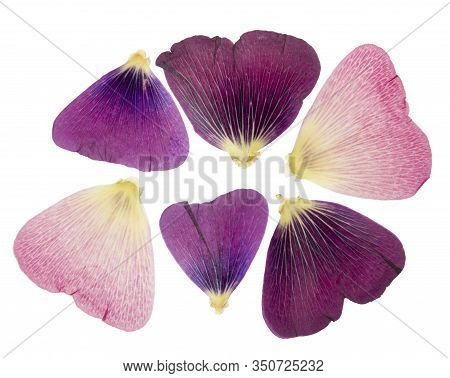 Pressed And Dried Delicate Petals Of Flowers Of Mallow (malva), Isolated On White Background. For Us