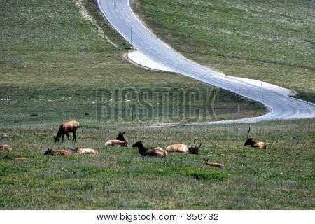 Caribou On The Alpine Tundra