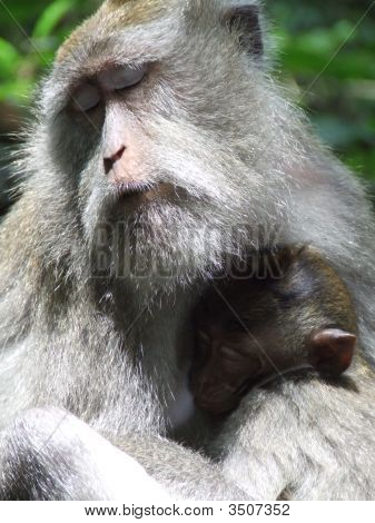 Monkey With Serene Expression Mothers It\'S Baby In Ubud, Bali, Indonesia