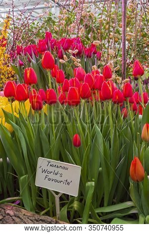 Beautiful Red And Yellow Tulips (world's Favourite  Species)