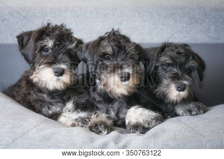 Three Expressive Dog Faces Of Miniature Schnauzer Puppies Are Looking One Way In Expectation. Miniat