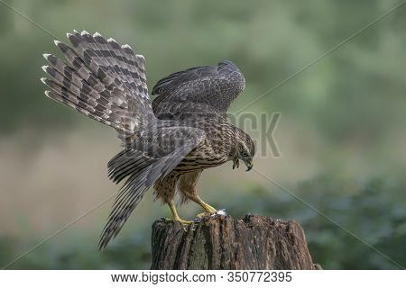 Screaming Juvenile Northern Goshawk Juvenile (accipiter Gentilis) On A Branch In The Forest Of Noord